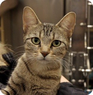 Domestic Shorthair Cat for adoption in Hillside, Illinois - Coco