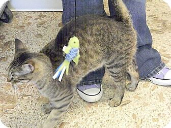 Domestic Shorthair Cat for adoption in Indianola, Iowa - Moose