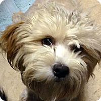Adopt A Pet :: Ambrosia - Los Angeles, CA