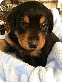 Labrador Retriever/Rottweiler Mix Puppy for adoption in Dallas, Texas - Jake