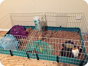 Guinea Pig for adoption in Hamden, Connecticut - Hat Trick