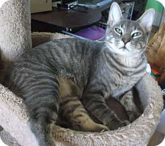 Domestic Shorthair Cat for adoption in Plano, Texas - HOBO - AWESOME YOUNG DECLAW!!!