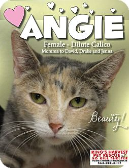 Calico Cat for adoption in Davenport, Iowa - Angie FIV+