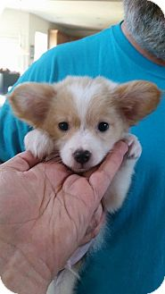 Corgi/Pomeranian Mix Puppy for adoption in Salisbury, North Carolina - Teddy Roosevelt
