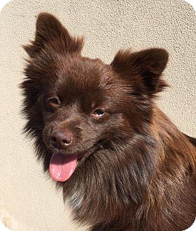 Pomeranian Mix Dog for adoption in Las Vegas, Nevada - Ember