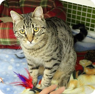 Domestic Shorthair Cat for adoption in Troy, Michigan - Wally