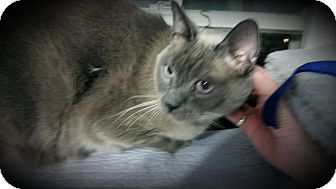 Siamese Cat for adoption in Fairborn, Ohio - Bosley