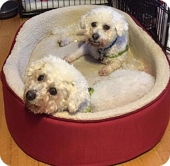 Bichon Frise Dog for adoption in East Hanover, New Jersey - Juliet & Romeo