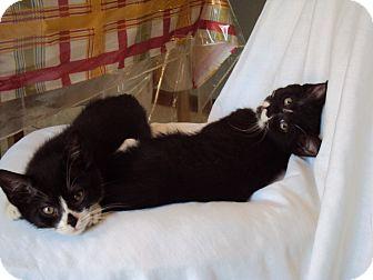 Domestic Shorthair Cat for adoption in Irwin, Pennsylvania - Louise