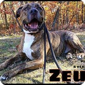 American Bulldog/Pit Bull Terrier Mix Dog for adoption in Jackson, New Jersey - Zeus