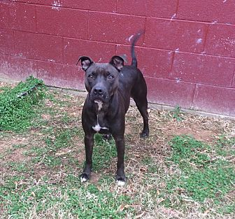 American Pit Bull Terrier Mix Dog for adoption in Acworth, Georgia - Scarlett