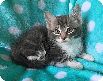 Domestic Shorthair Kitten for adoption in Tampa, Florida - Barney