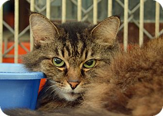 Maine Coon Cat for adoption in Brooksville, Florida - 10308755