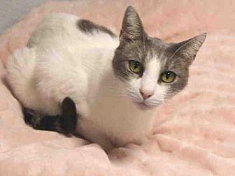 Domestic Mediumhair Cat for adoption in Hampton Bays, New York - SAM