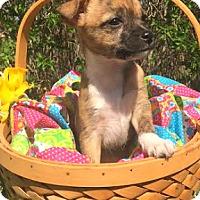 Adopt A Pet :: Candy - Boulder, CO