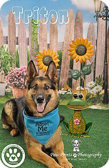 German Shepherd Dog Mix Dog for adoption in Kimberton, Pennsylvania - Triton