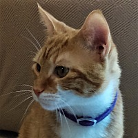 Domestic Shorthair Cat for adoption in Duluth, Georgia - Winston