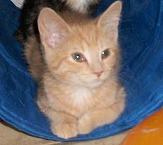 Domestic Shorthair Kitten for adoption in Lacon, Illinois - Indy
