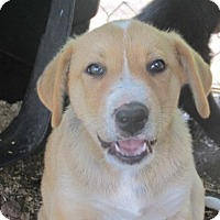 Adopt A Pet :: Tige - Rocky Mount, NC