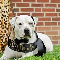 Adopt A Pet :: Bentley - Philadelphia, PA