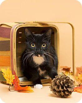 Domestic Shorthair Kitten for adoption in Oviedo, Florida - Lady Gaga