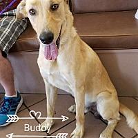 Adopt A Pet :: Buddy 2 - Las Vegas, NV