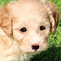 Adopt A Pet :: NELLIE(MINI GOLDENDOODLE!! - Wakefield, RI