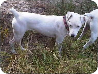 Jack Russell Terrier Mix Dog for adoption in Dallas/Ft. Worth, Texas - Lucky Lou in Conroe