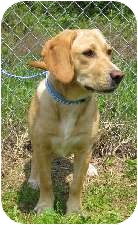 Beagle Mix Dog for adoption in Jeffersonville, Indiana - Buttercup