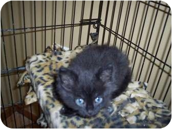 Domestic Shorthair Kitten for adoption in New London, Wisconsin - JellyBean