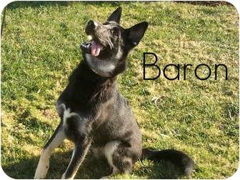 German Shepherd Dog Dog for adoption in San Clemente, California - BARON