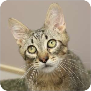 Domestic Shorthair Kitten for adoption in Naperville, Illinois - Charlie Brown