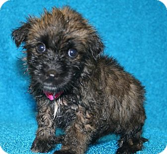 Terrier (Unknown Type, Small)/Chihuahua Mix Puppy for adoption in Westminster, Colorado - Jubilee
