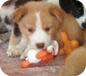 Collie/Husky Mix Puppy for adoption in Portland, Maine - Sunny