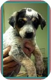 Australian Cattle Dog Mix Puppy for adoption in Washington, D.C. - Stormy