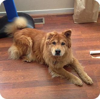 Chow Chow Mix Dog for adoption in Richmond, Virginia - Juliette