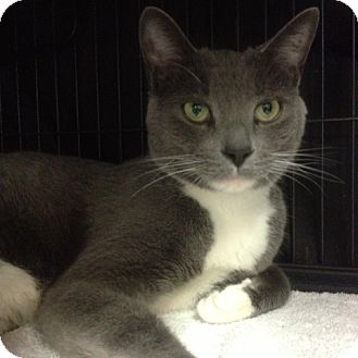 Domestic Shorthair Cat for adoption in Toronto, Ontario - Baxter