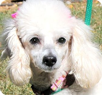 Toy Poodle Dog for adoption in Wakefield, Rhode Island - PENELOPE(TINY PD TOY POODLE!!!