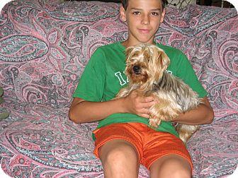 Yorkie, Yorkshire Terrier Dog for adoption in Salem, New Hampshire - Rose