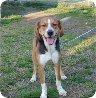 Foxhound Mix Dog for adoption in Portsmouth, Rhode Island - Sandy