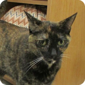 Domestic Shorthair Cat for adoption in Gilbert, Arizona - Ambrosia