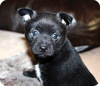 Schipperke/Pomeranian Mix Puppy for adoption in Norman, Oklahoma - Myles