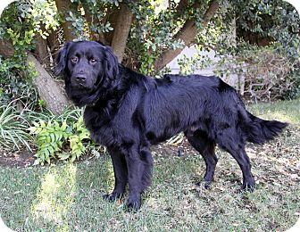 Flat-Coated Retriever/Labrador Retriever Mix Dog for adoption in Newport Beach, California - BOBBY