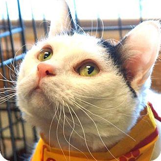 Domestic Shorthair Cat for adoption in Sprakers, New York - Flynn