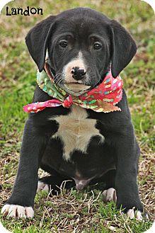 Labrador Retriever Mix Puppy for adoption in Cranford, New Jersey - Landon