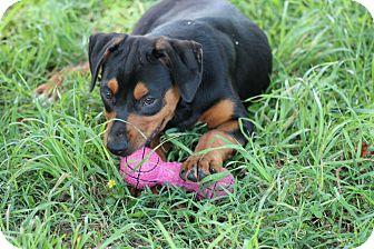 Labrador Retriever/Rottweiler Mix Puppy for adoption in Harmony, Glocester, Rhode Island - Huey