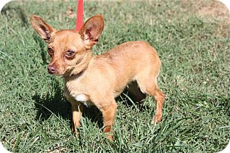 Chihuahua Dog for adoption in Conway, Arkansas - Gwen