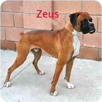 Boxer Dog for adoption in Encino, California - Zeus
