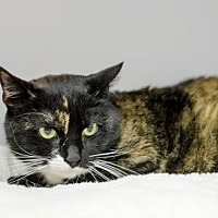 Domestic Shorthair Cat for adoption in Woodside, New York - Nellie