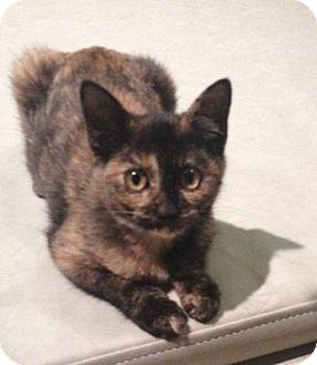 Domestic Shorthair Kitten for adoption in Horseshoe Bay, Texas - Luna